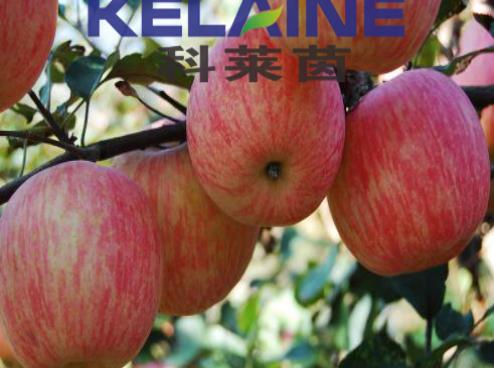 使用科莱茵水溶肥后的苹果效果展示!