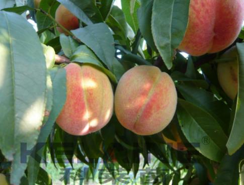 使用科莱茵水溶肥后的桃子效果展示!