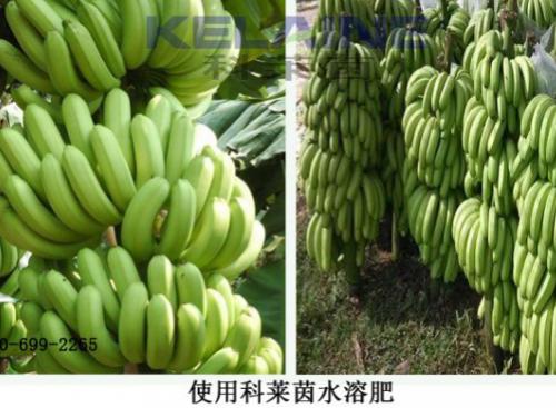 使用科莱茵水溶肥后的香蕉效果展示!