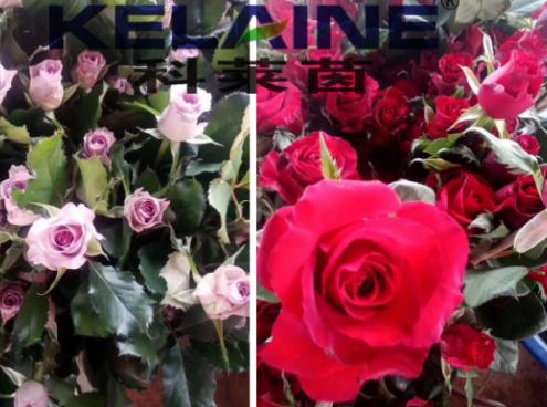使用科莱茵大量元素水溶肥后的玫瑰花效果展示!