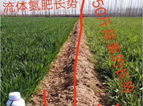使用科莱茵聚合流体氮水溶肥后的小麦效果展示!