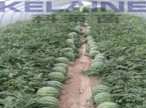 使用科莱茵水溶肥后的西瓜效果展示!