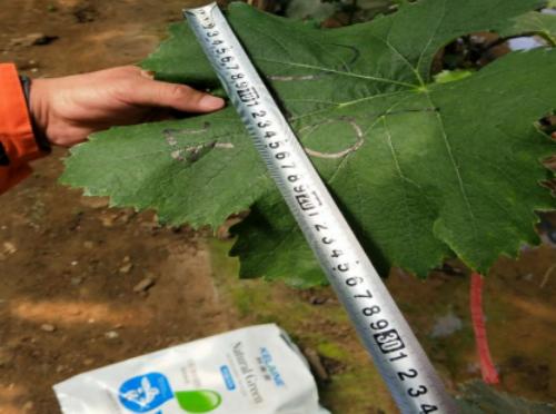 使用科莱茵水溶肥后的葡萄叶片效果!