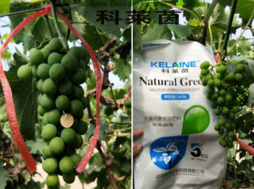 使用科莱茵水溶肥前后的葡萄对比图!