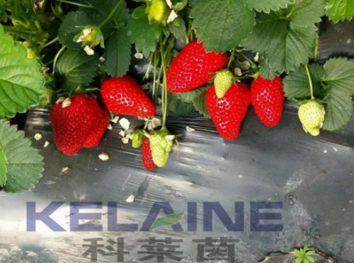 使用科莱茵水溶肥前后的草莓对比图!