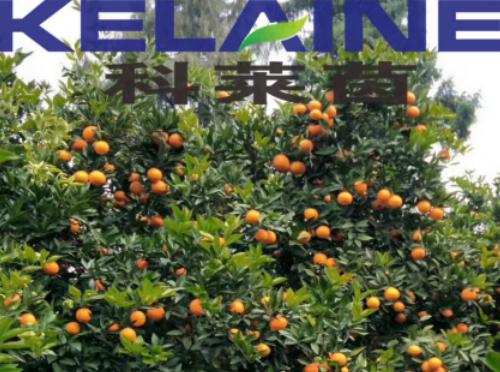 使用科莱茵水溶肥后的柑橘效果展示!