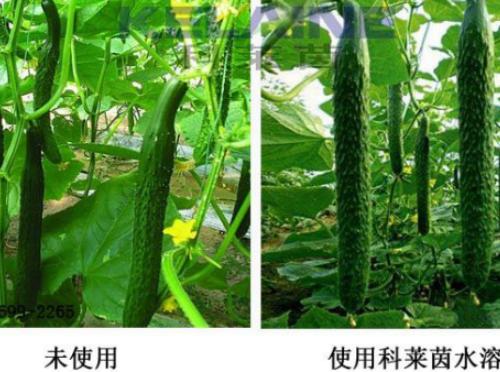 使用科莱茵水溶肥前后的黄瓜对比图!