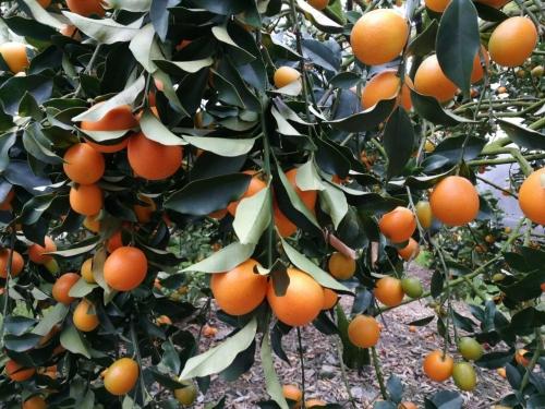 预防柑橘黄化,找对问题比努力更重要
