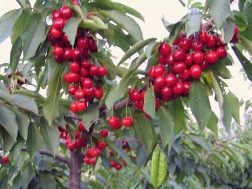 樱桃用什么水溶肥效果好?