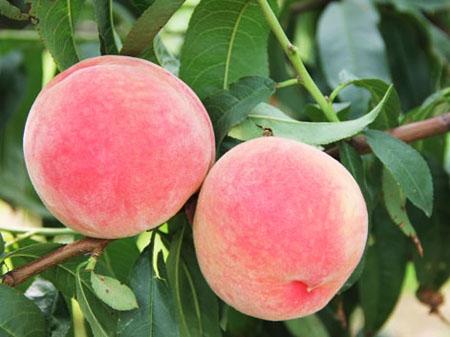 桃树用什么肥料桃子甜?