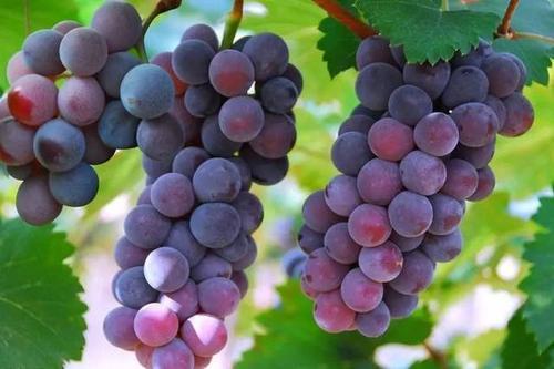 种植葡萄需要施什么水溶肥?