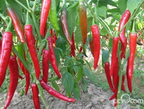 辣椒移栽后用什么水溶肥料能快速提苗?