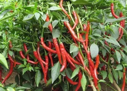 辣椒使用水溶肥的效果反馈