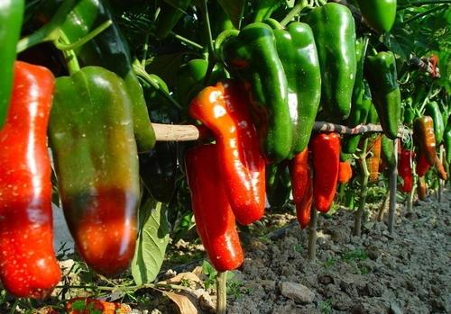 大棚青椒种植管理技术?