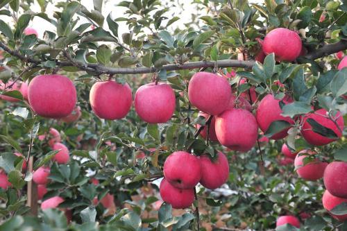 苹果使用科莱茵水溶肥效果