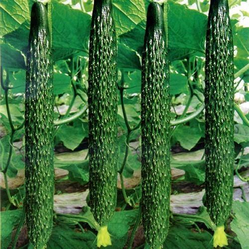 黄瓜专用叶面肥料厂家科莱茵