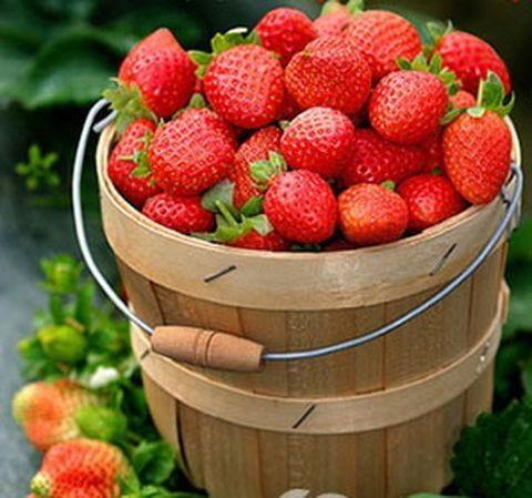 科莱茵水溶肥用在草莓上的使用效果!